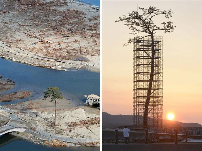 Singurul copac care a supravietuit tsunami-ului din Japonia, astazi protejat si restautat.