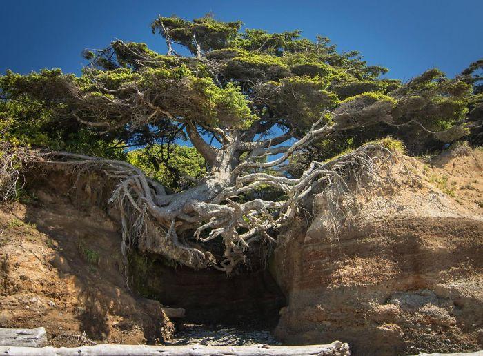 Copacul care sfideaza gravitatia - Olympic National Park, Washington
